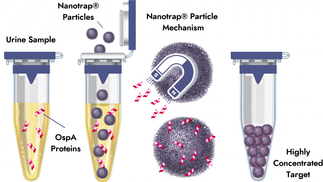 Nanotrap Particle Mechanism Lyme Borreliosis